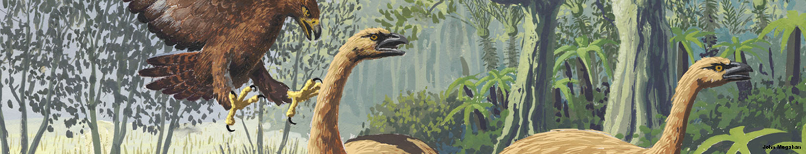 Illustration of a Haast's Eagle attacking a Moa